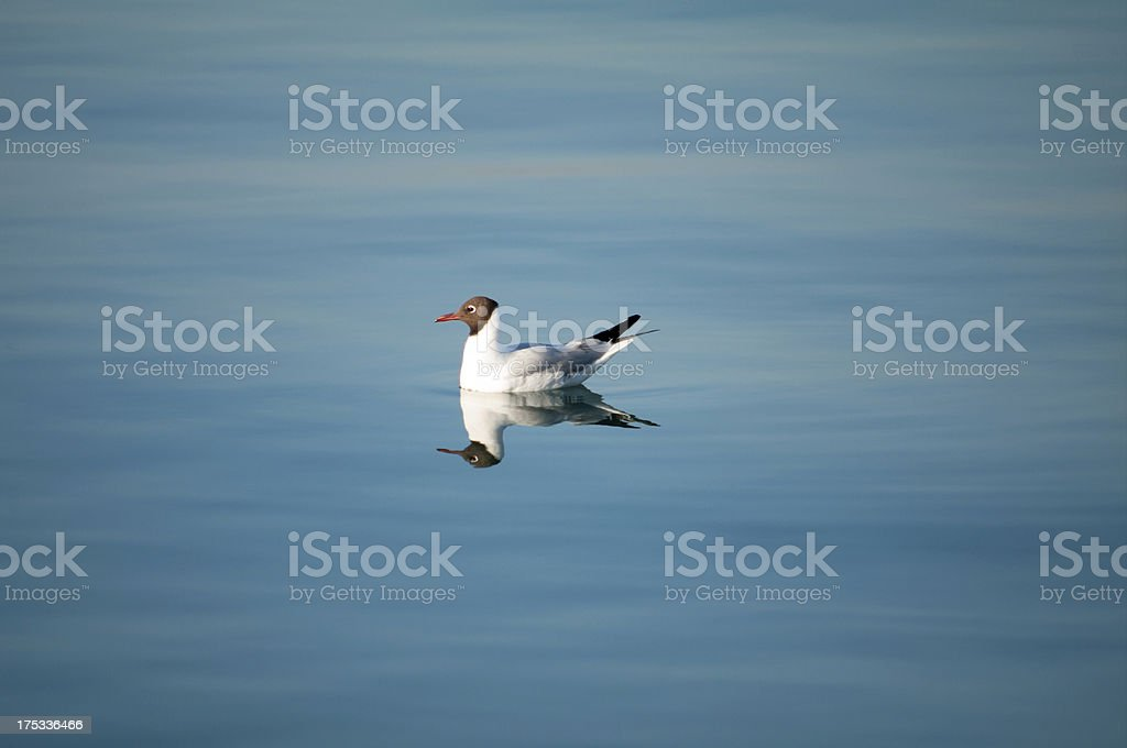 Seagull and reflection royalty-free stock photo