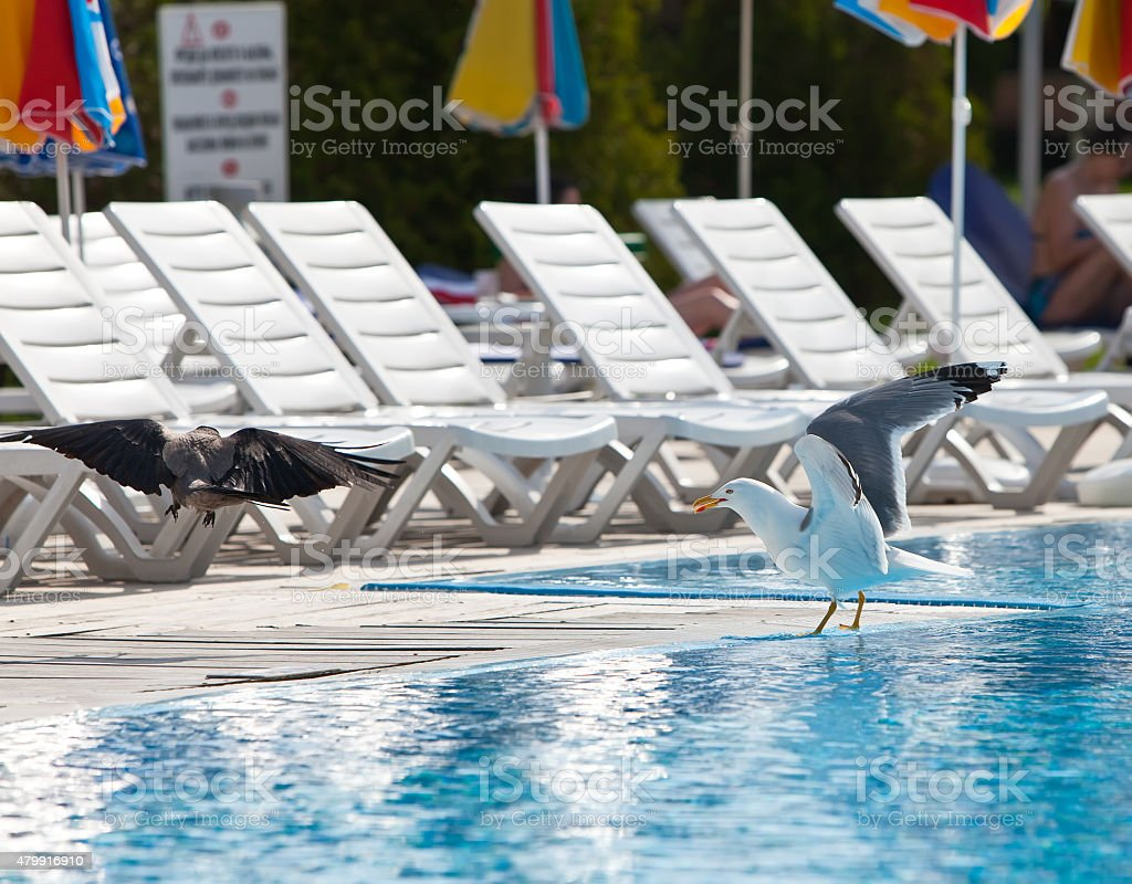 Seagull  and  row of empty chaise lounges stock photo