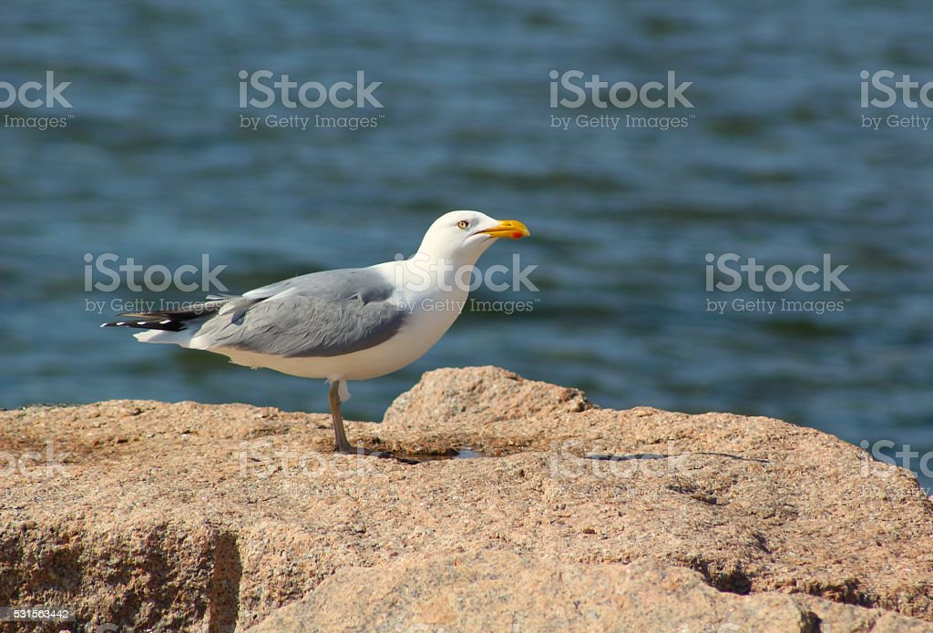 Seagull at a Water Hole in a Rock stock photo