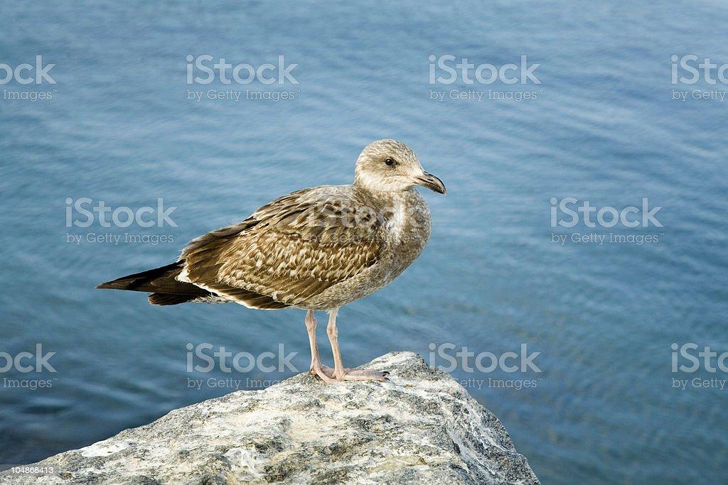 Seagull at breakfast stock photo