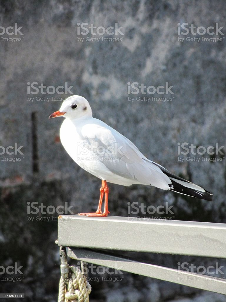 Seagull at Castle of Sirmione South of Lake Garda Italy stock photo