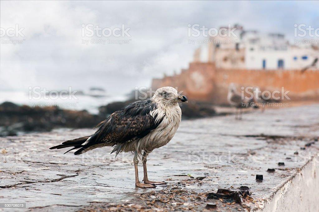 Seagull at Essaouira fortress, Morocco stock photo