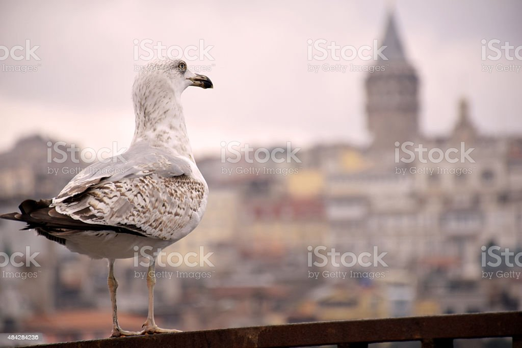 Seagull at Istanbul stock photo