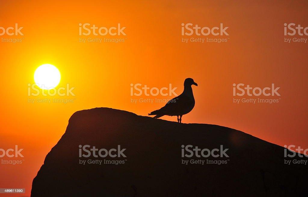 Gaivota ao pôr-do-sol foto royalty-free