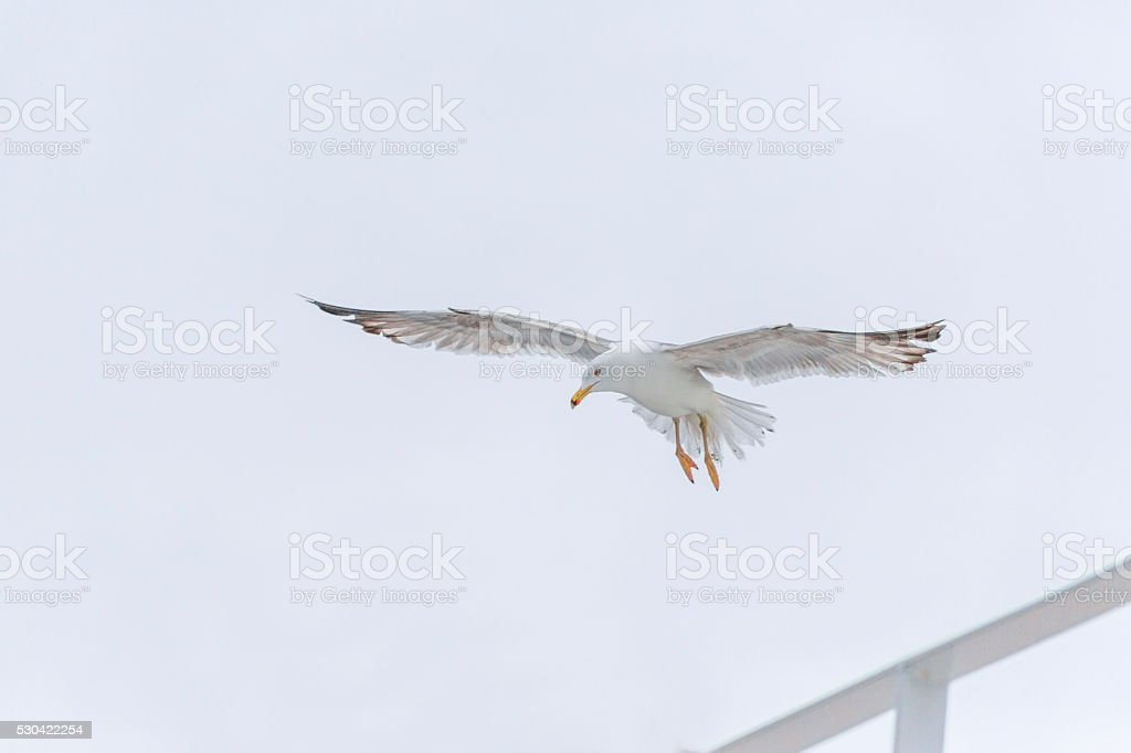 seagull at thassos island ferry near keramoti kavala greece stock photo