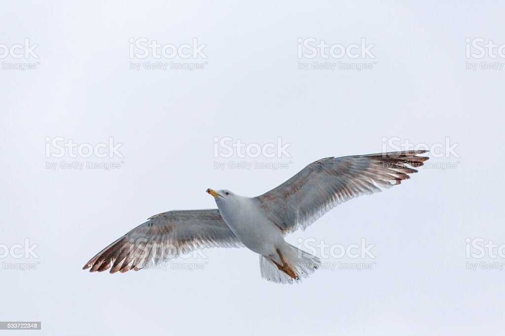 seagull at thassos island near keramoti kavala greece stock photo