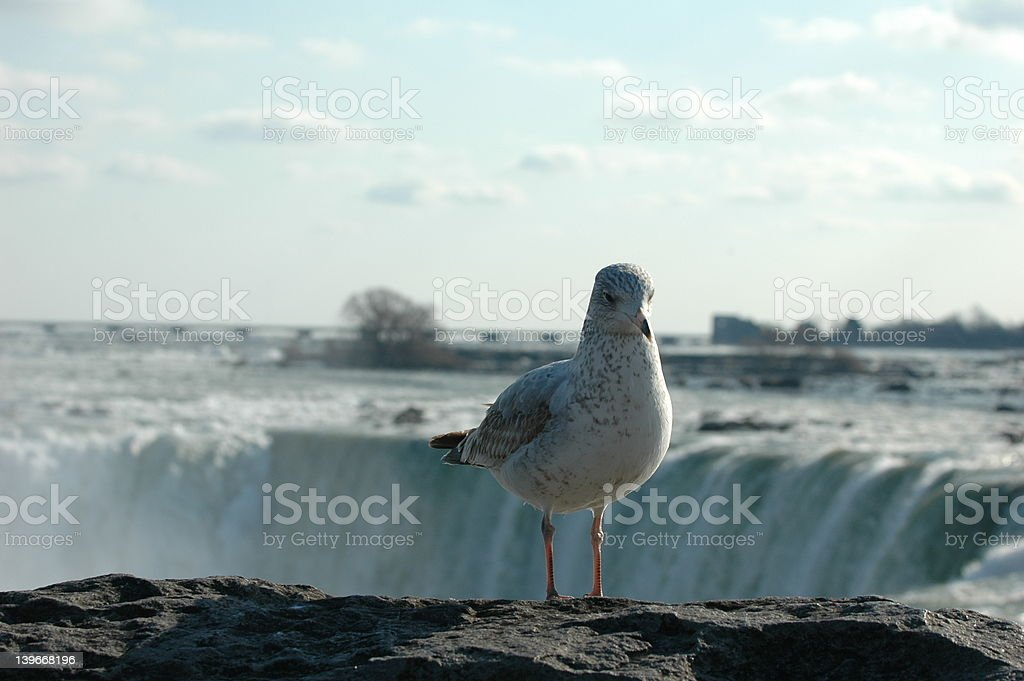 Seagull at the falls stock photo