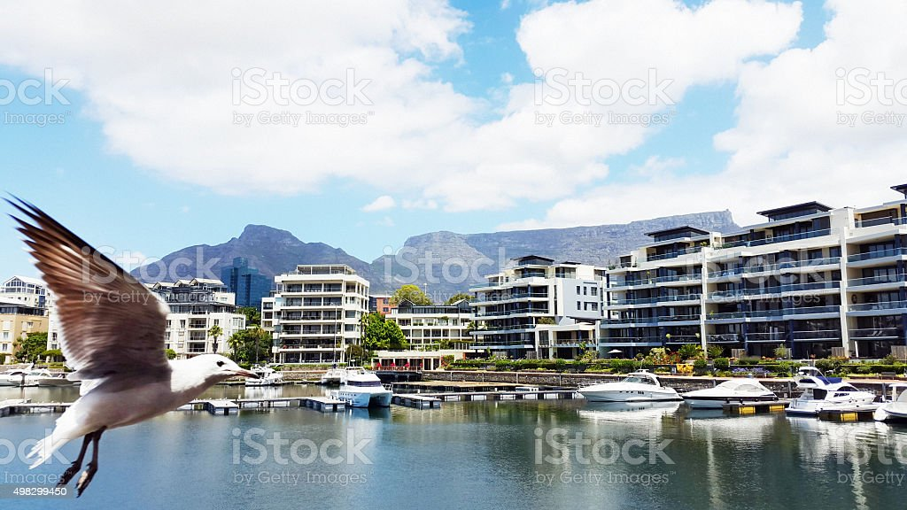 Seagull at  V&A Waterfront, Cape Town, with Table Mountain behind stock photo