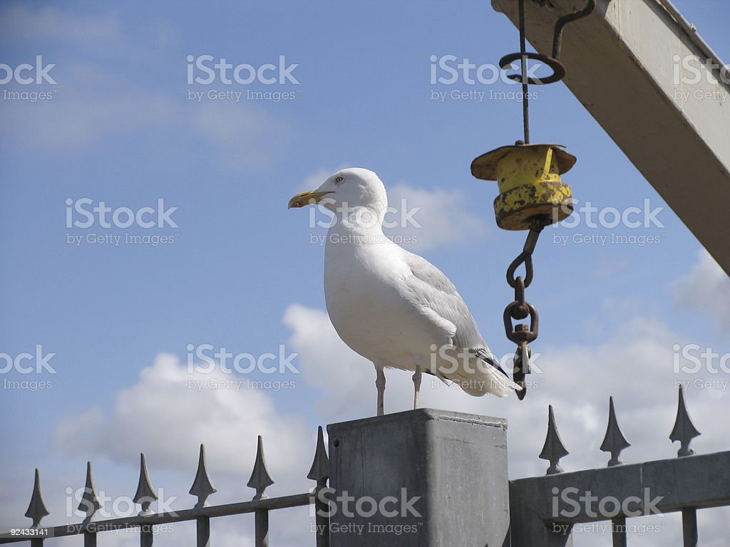 seagull at Whitby royalty-free stock photo