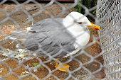 Seagull at zoo behind bars