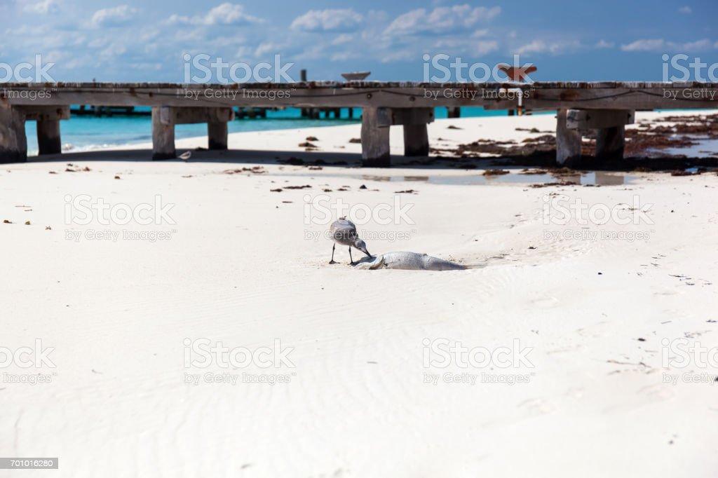 Seagull bird eating dead  fish on beach stock photo