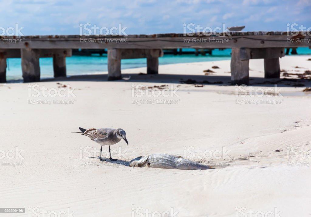 Seagull bird eating dead rotten fish on beach stock photo