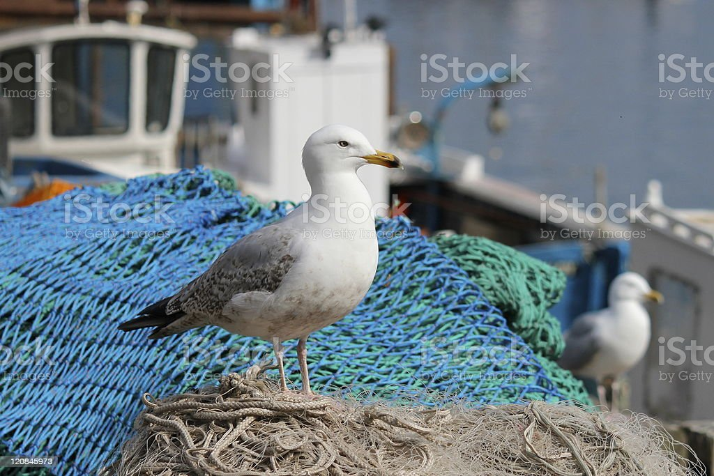 seagull by fishing nets. stock photo