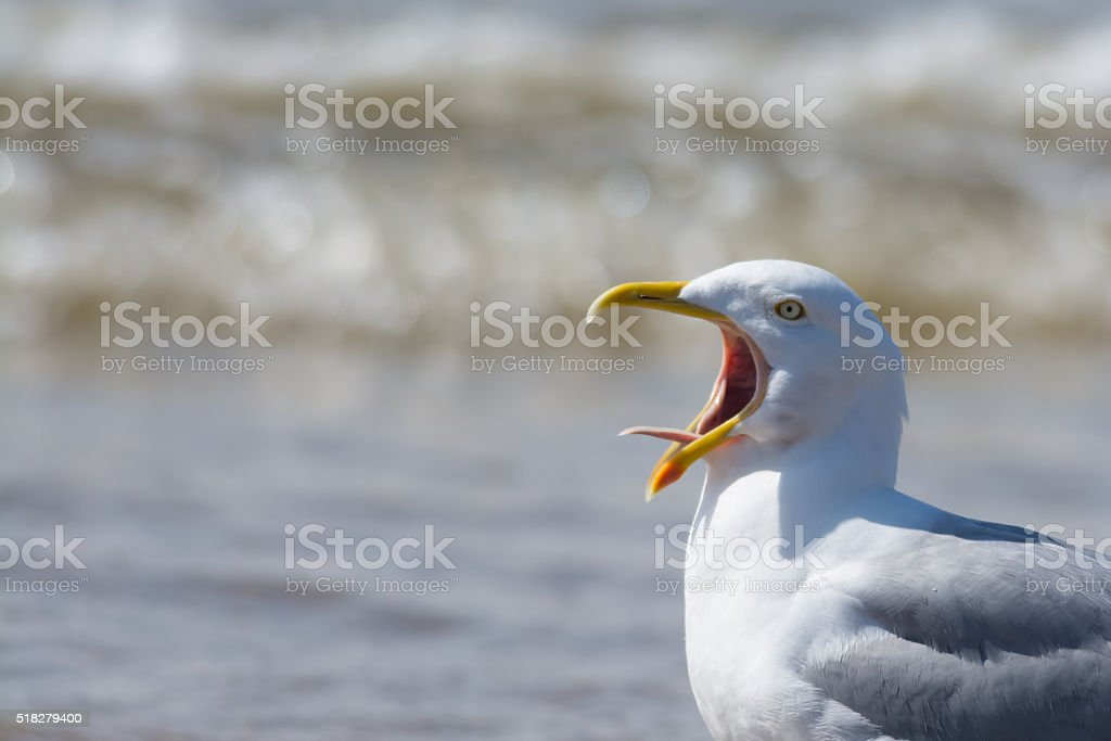 Seagull calling with tongue showing stock photo