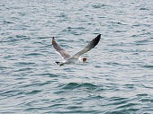 Seagull carrying fish