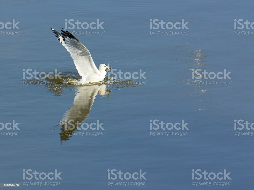 Seagull catches a fish stock photo