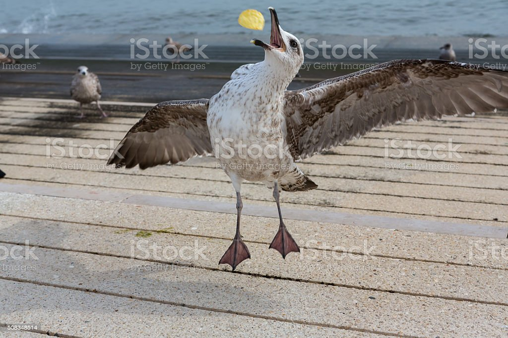 Seagull catching chip stock photo
