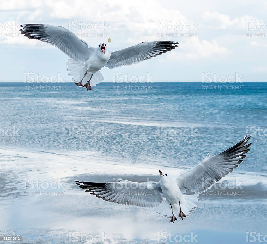Seagull catching food stock photo