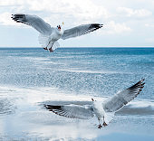 Seagull catching food