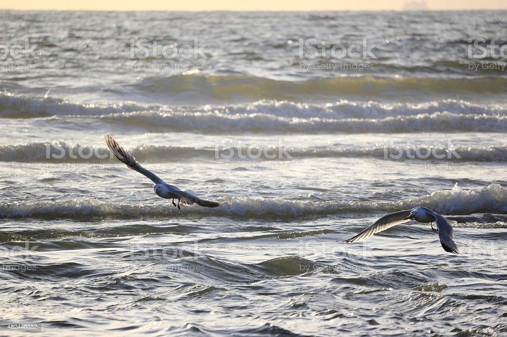 Seagull catching starfish. North Sea, the Netherlands. stock photo