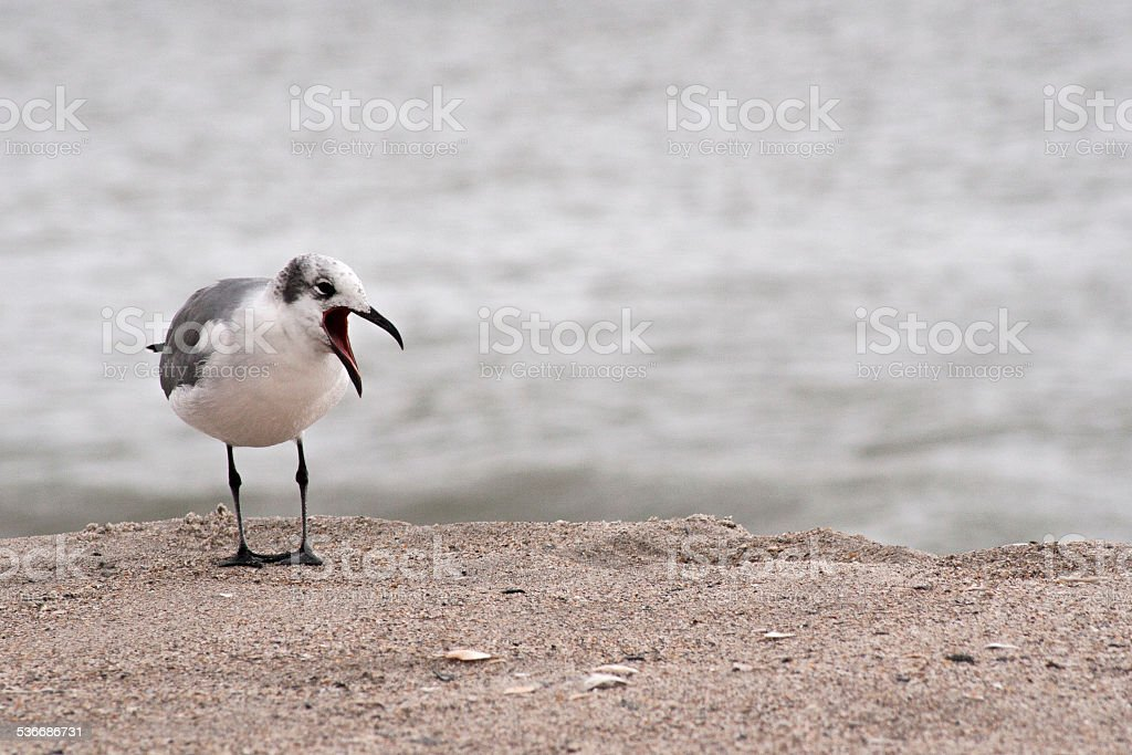 Seagull Cawing stock photo