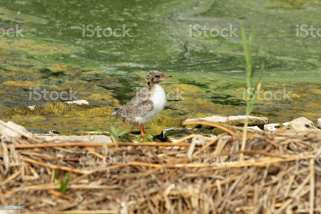 Seagull chick royalty-free stock photo