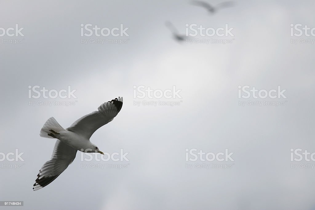 Seagull Crossing royalty-free stock photo