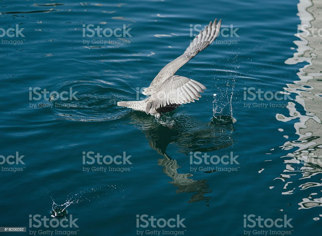 Seagull diving for food in a harbour stock photo