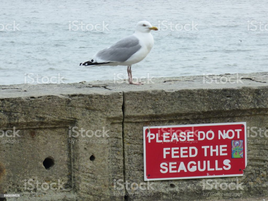 Seagull, do not feed the seagulls stock photo