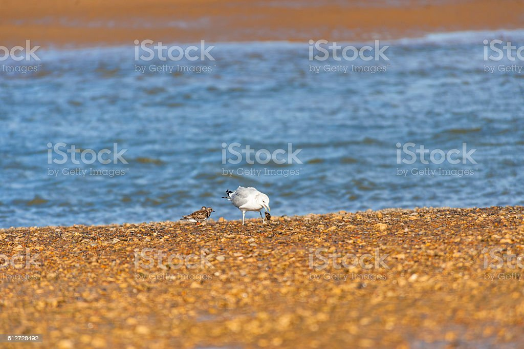 Seagull Dropping a mussel to open it stock photo