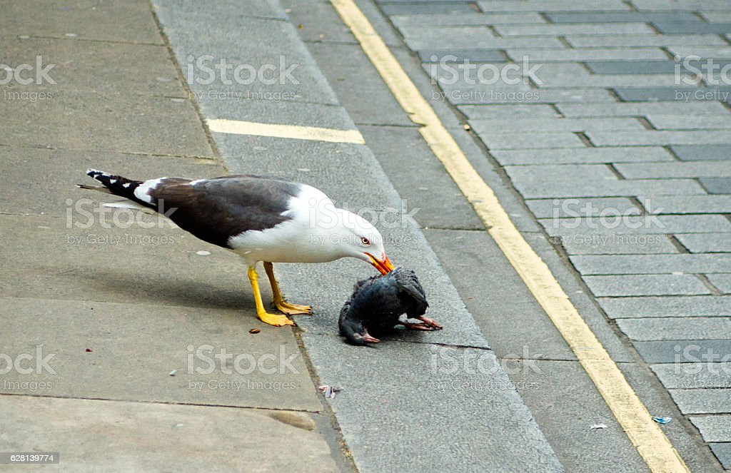 Seagull eating a dead piqeon stock photo