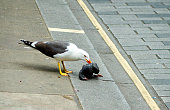 Seagull eating a dead piqeon