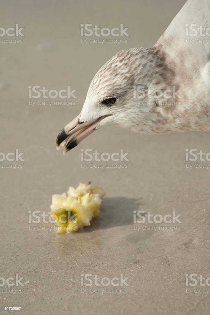Seagull Eating an Apple stock photo