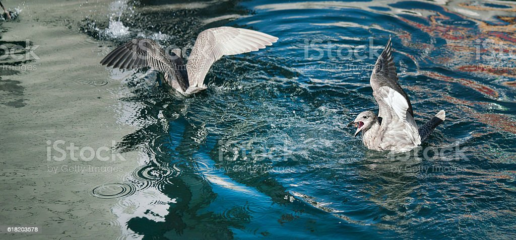 Seagull eating, mouth wide open stock photo
