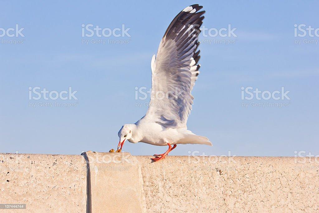 Gabbiano mangiare in cemento ponte foto stock royalty-free