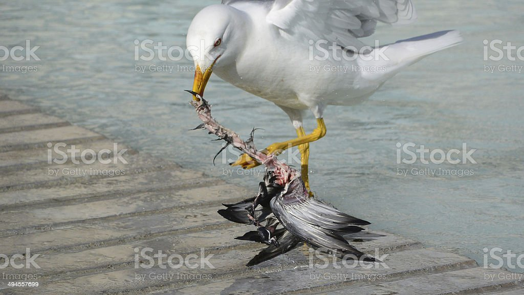 seagull eating royalty-free stock photo