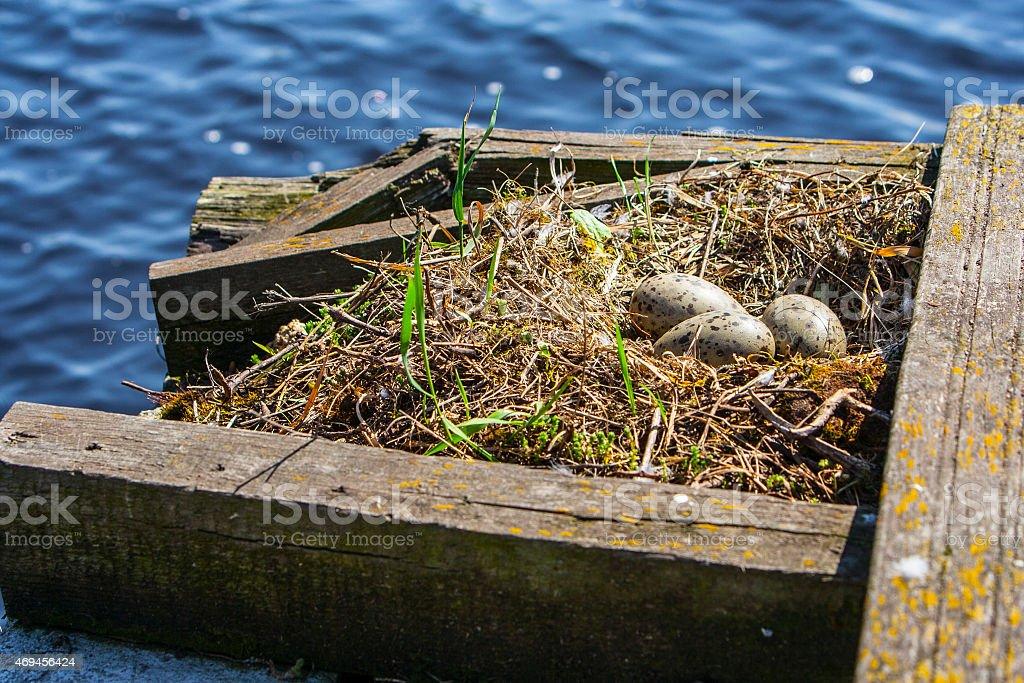 Seagull eggs stock photo