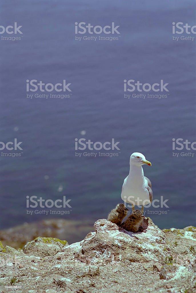 Seagull family stock photo