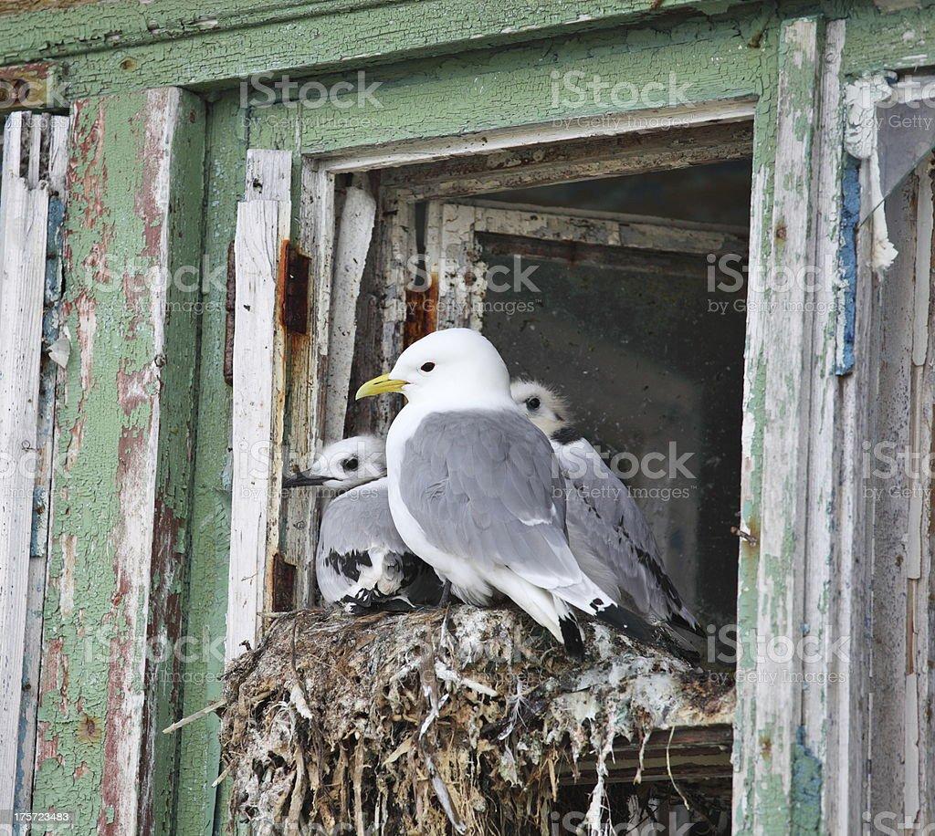 Seagull family royalty-free stock photo