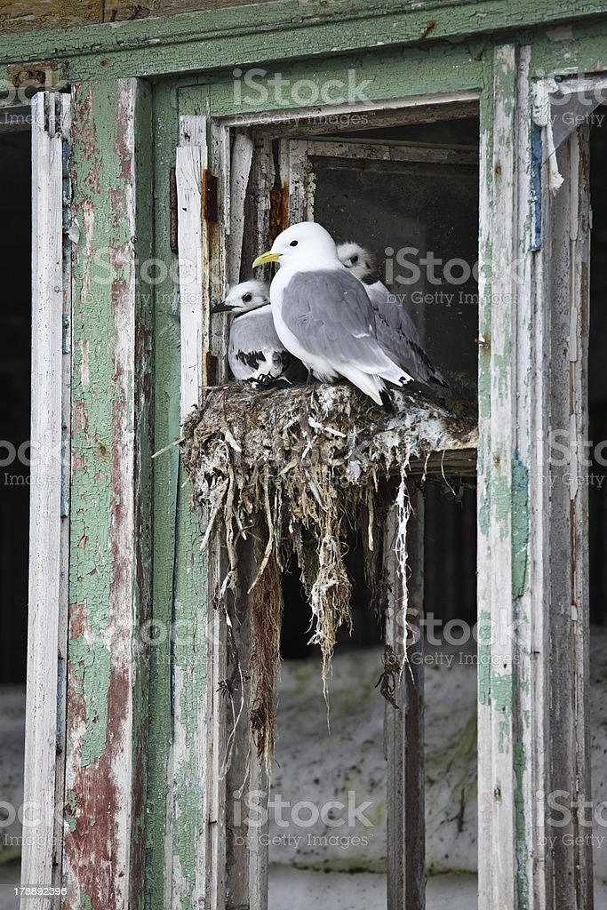 Seagull family royalty-free stock photo