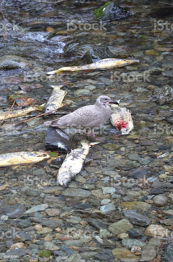 Seagull Feasting During Salmon Run in Goldstream Park, British Columbia royalty-free stock photo