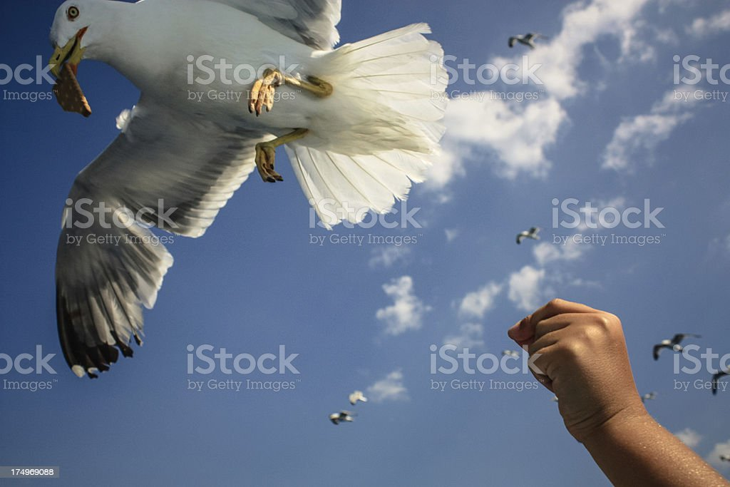Seagull Feeding royalty-free stock photo