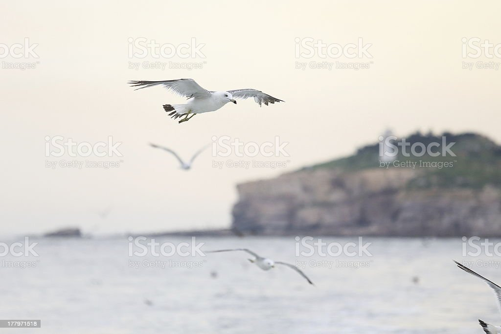 seagull fly royalty-free stock photo