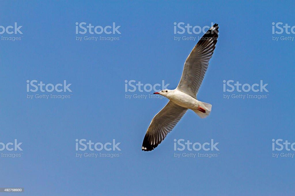 Seagull fly show blue sky stock photo