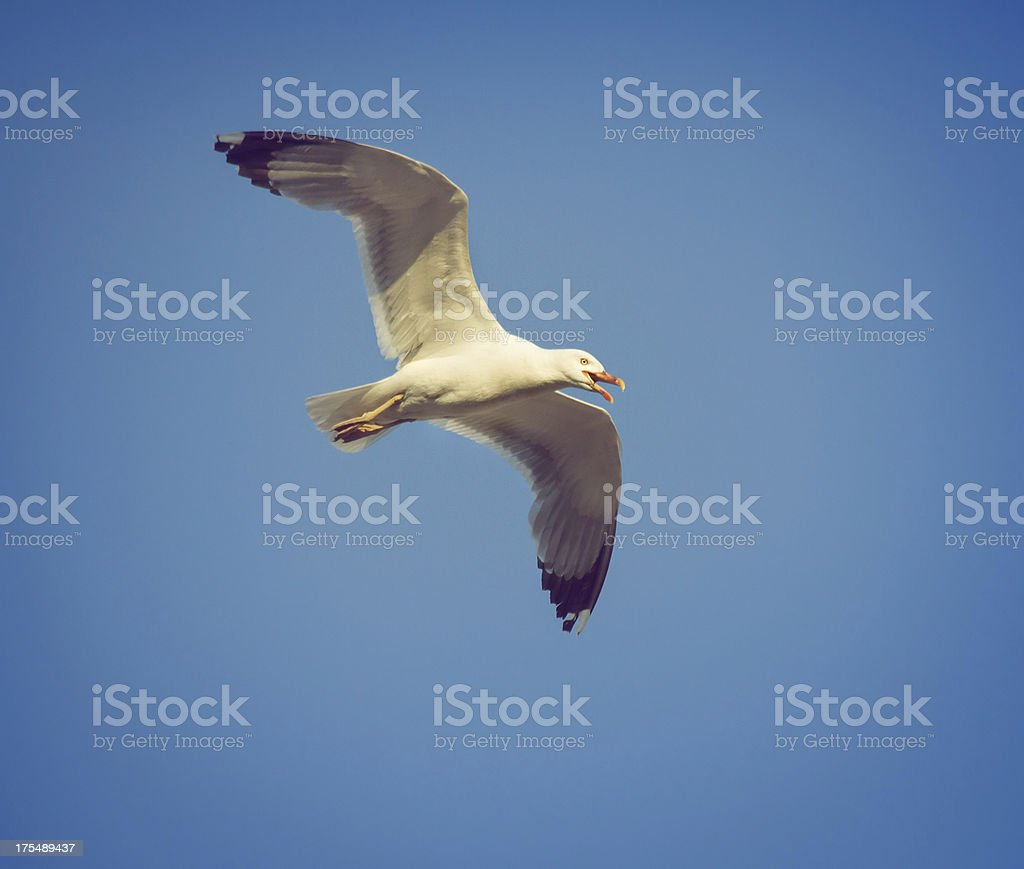 Seagull Flying and Screaming stock photo