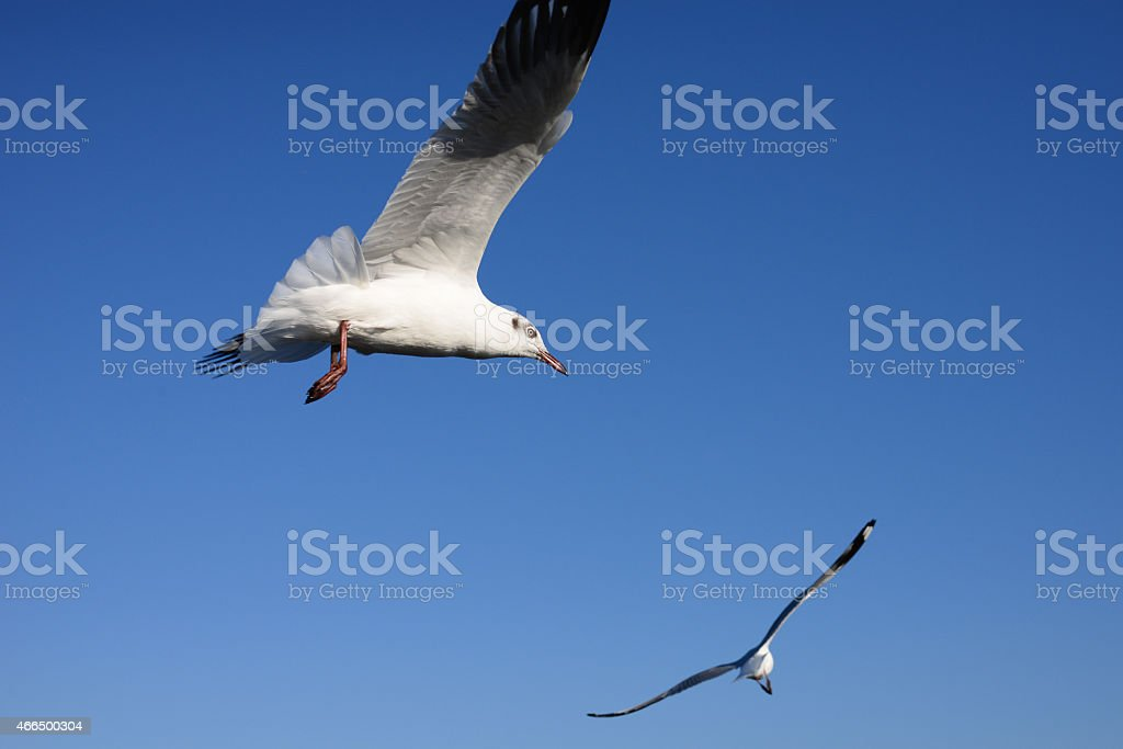 Seagull flying in blue sky background royalty-free stock photo