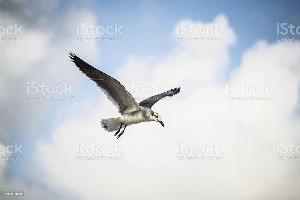 Seagull flying in Canc?n stock photo