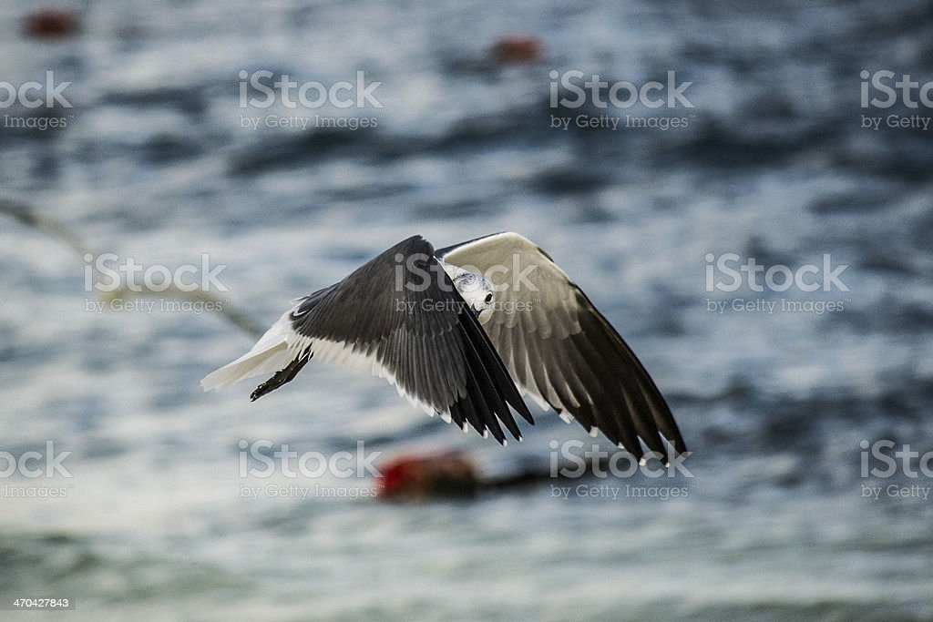 Seagull flying in Cancún stock photo