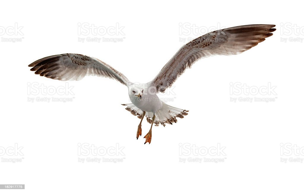 Seagull flying in white background stock photo