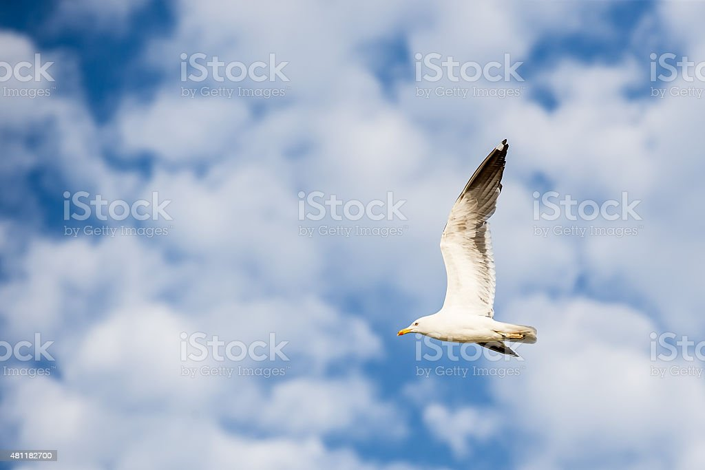 Seagull flying on a blue sky with white clouds stock photo
